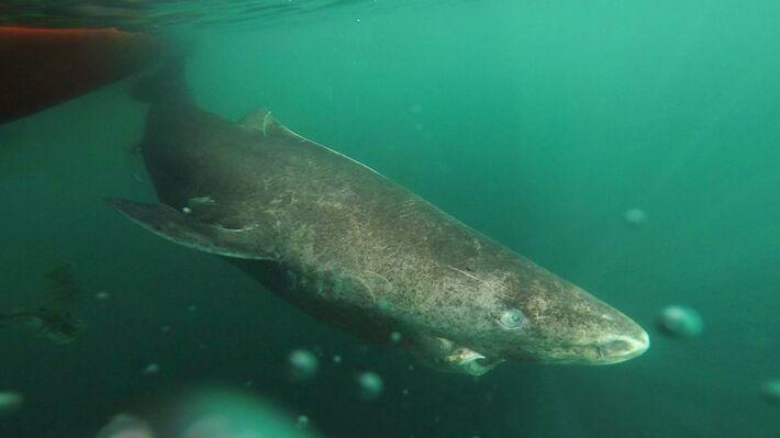 Ο καρχαρίας της Γροιλανδίας (Φωτό ΑΡ)